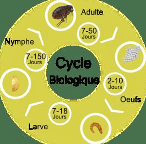 cycle biologique puce